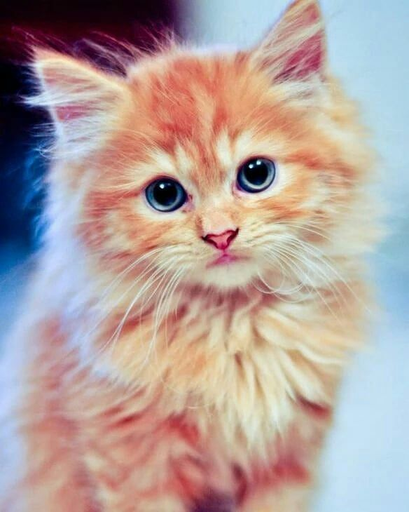 Ginger kitten with blue eyes Gatos bonitos, Loca de los