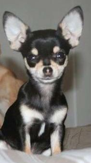 Missing Losing A Dog Chihuahua Puppies Chihuahua