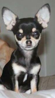 Missing Chihuahua Puppies Losing A Dog Chihuahua