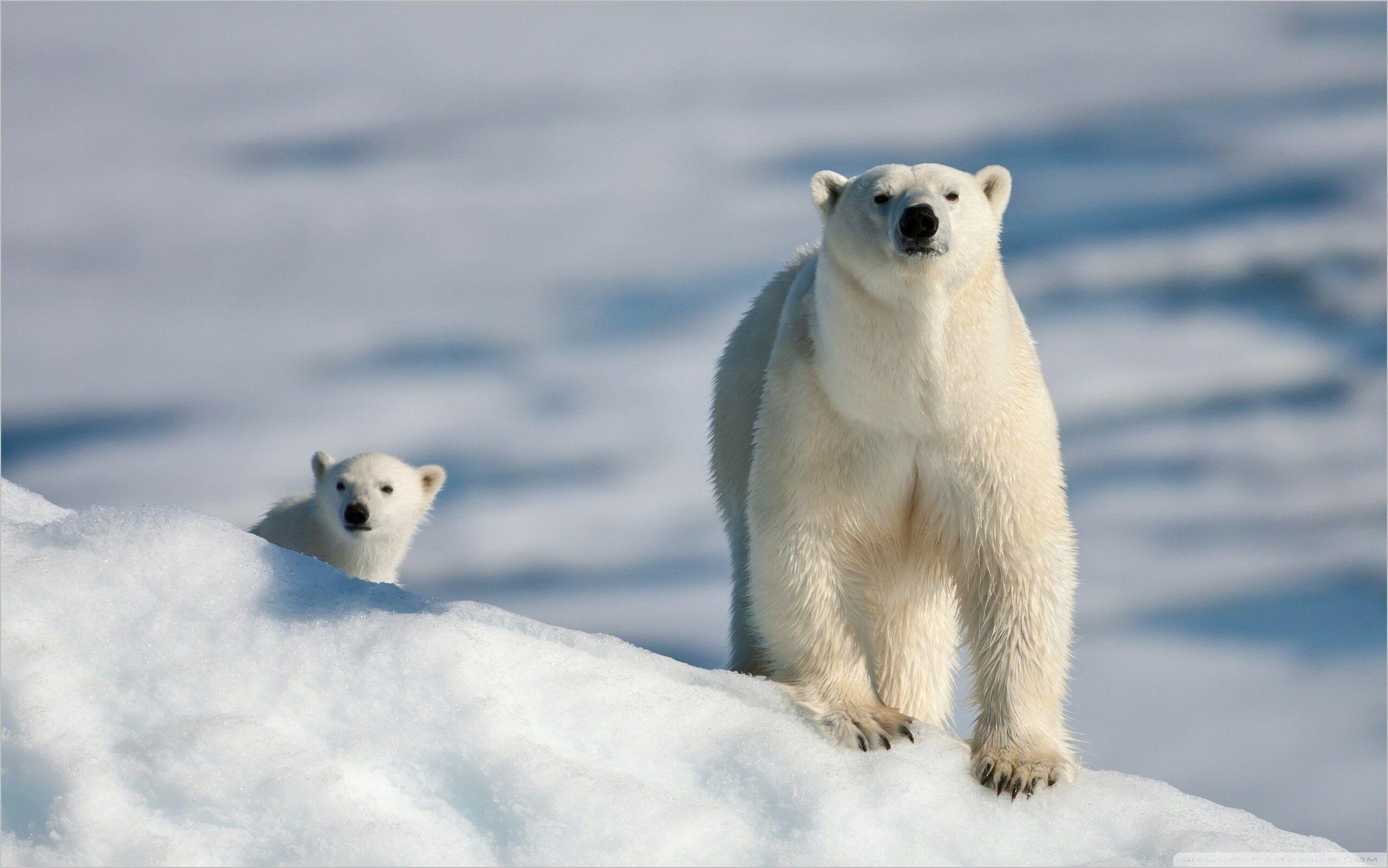 Polar Bear 4k Wallpaper Polar Bear Baby Polar Bears Cute Polar Bear