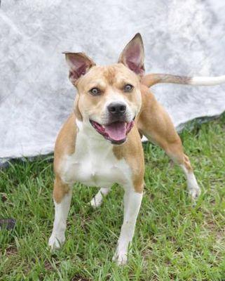 Inverness, FL English Bulldog. Meet Harry Firehouse a