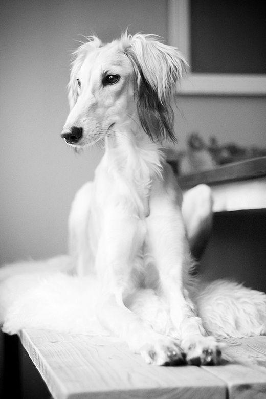 Saluki Queen - Dog Photography - Sighthound - Pet Studio