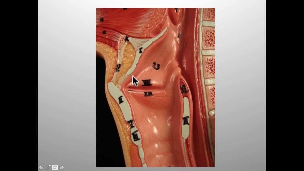 Introduction to Larynx, Pharynx, and Airway Anatomy | College ...