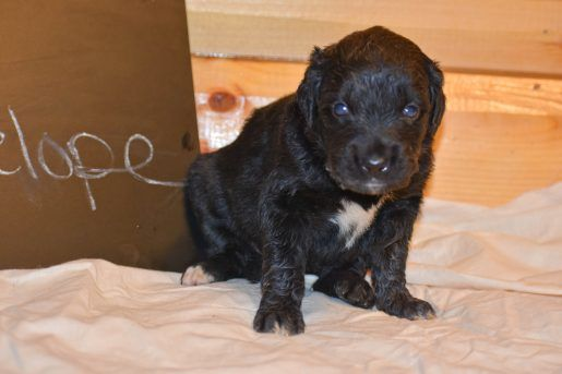Penelope A Devoted Female Golden Mountain Dog Puppy For