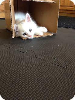 Alliston, ON - Domestic Mediumhair. Meet Marie and Toulouse, a kitten for adoption. If you're interested, please check out--> http://www.adoptapet.com/pet/13441180-alliston-ontario-kitten #kittens #animal #adoption #white #fluffy