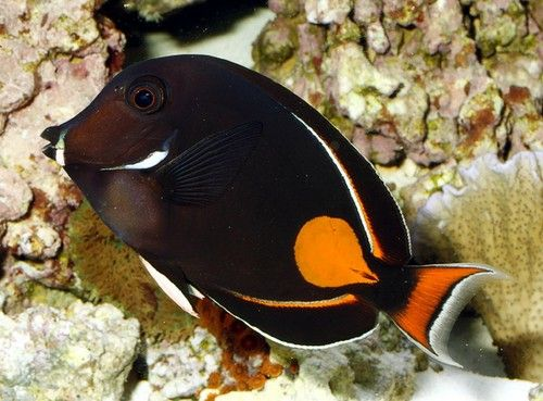 Aquarium Fish Surgeonfishes A K A The Tangs Aquarium Fish Fish Beautiful Fish