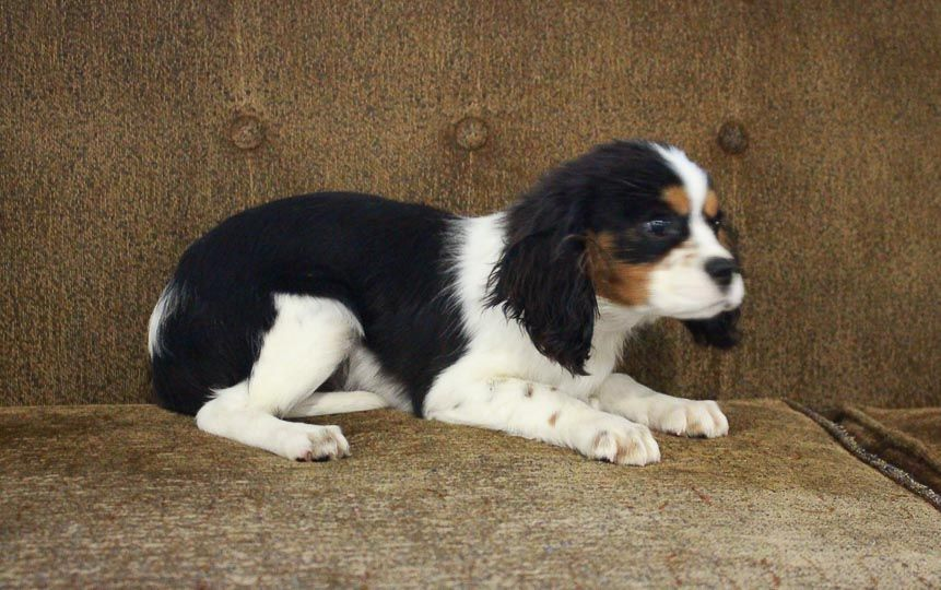 Breed Cavalier King Charles Spaniel Gender Male Registry Akc Personality Gentlemanly Date Avai Puppies For Sale King Charles Cavalier Spaniel Puppy Puppies
