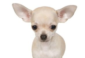 Chihuahua Welpen Chihuahua Zucht Chihuahua Zuchter In Bayern Mascotas Perros Besos