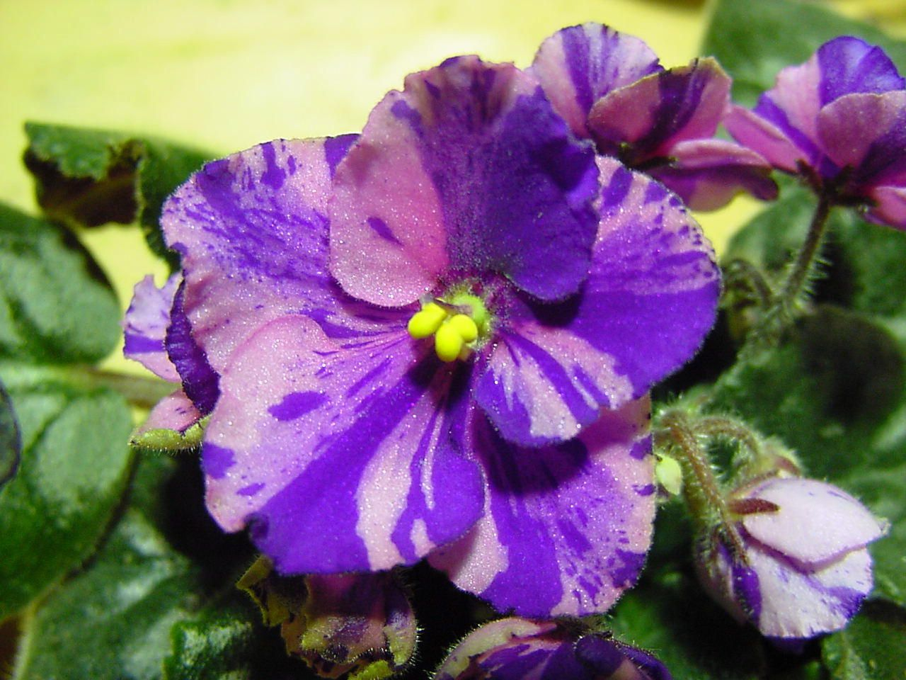 Variegated African Violet | Flowers | Pinterest