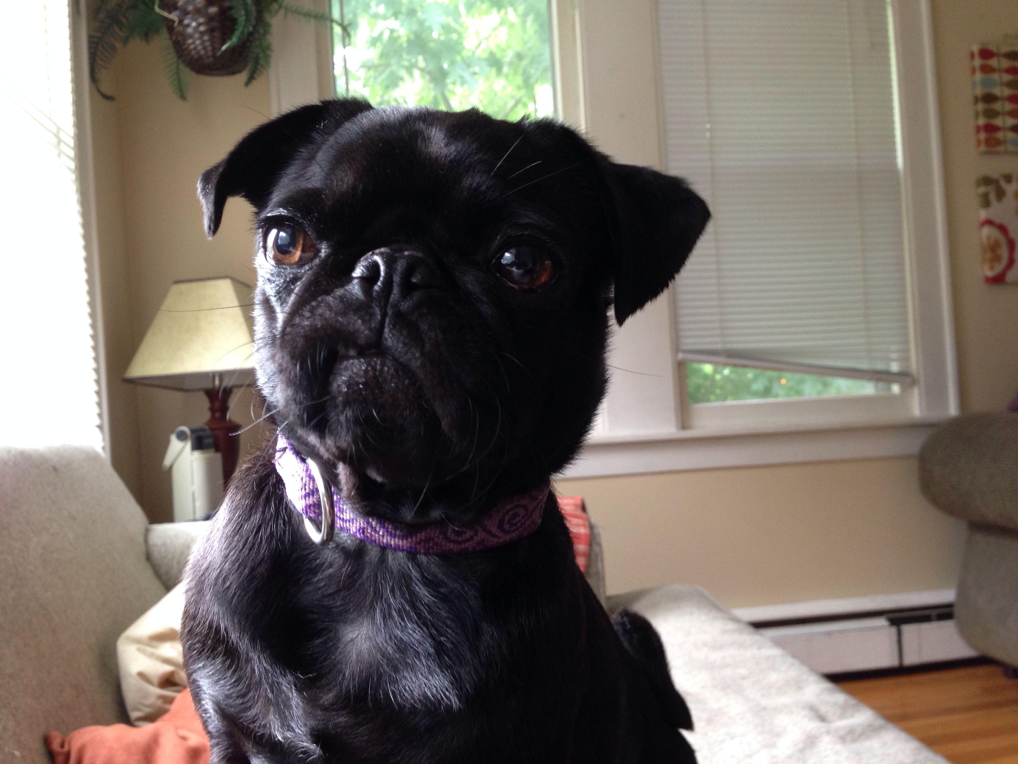 Lily #pug #blackpug