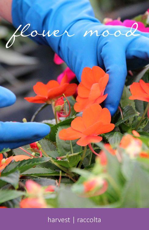 Flower mood #harvest #raccolta, edible flowers, fiori edibili, L'Insalata dell'Orto