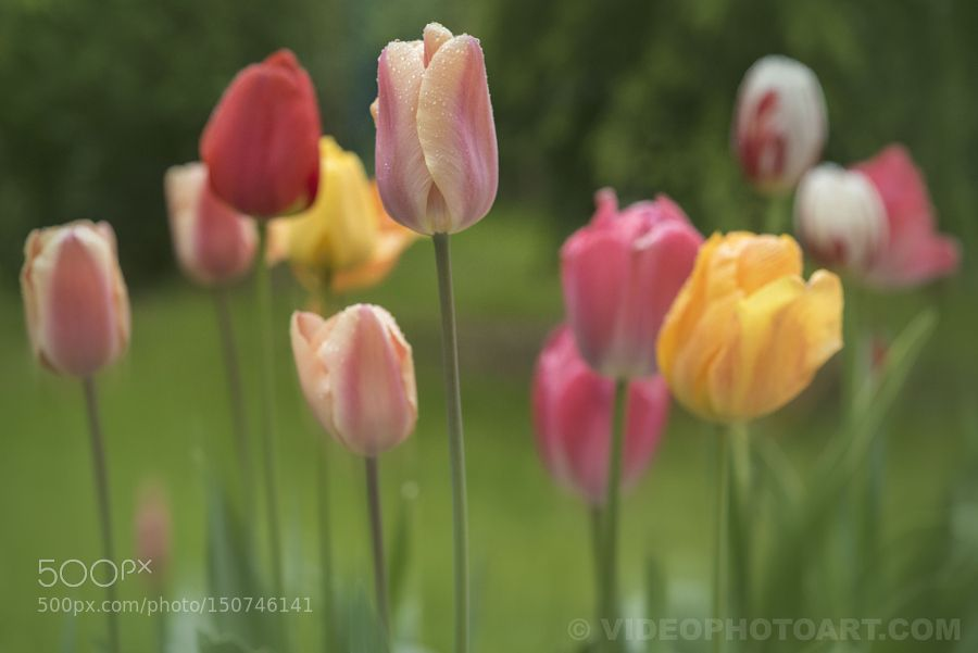 Dancing Tulips by videophotoart_europe. @go4fotos