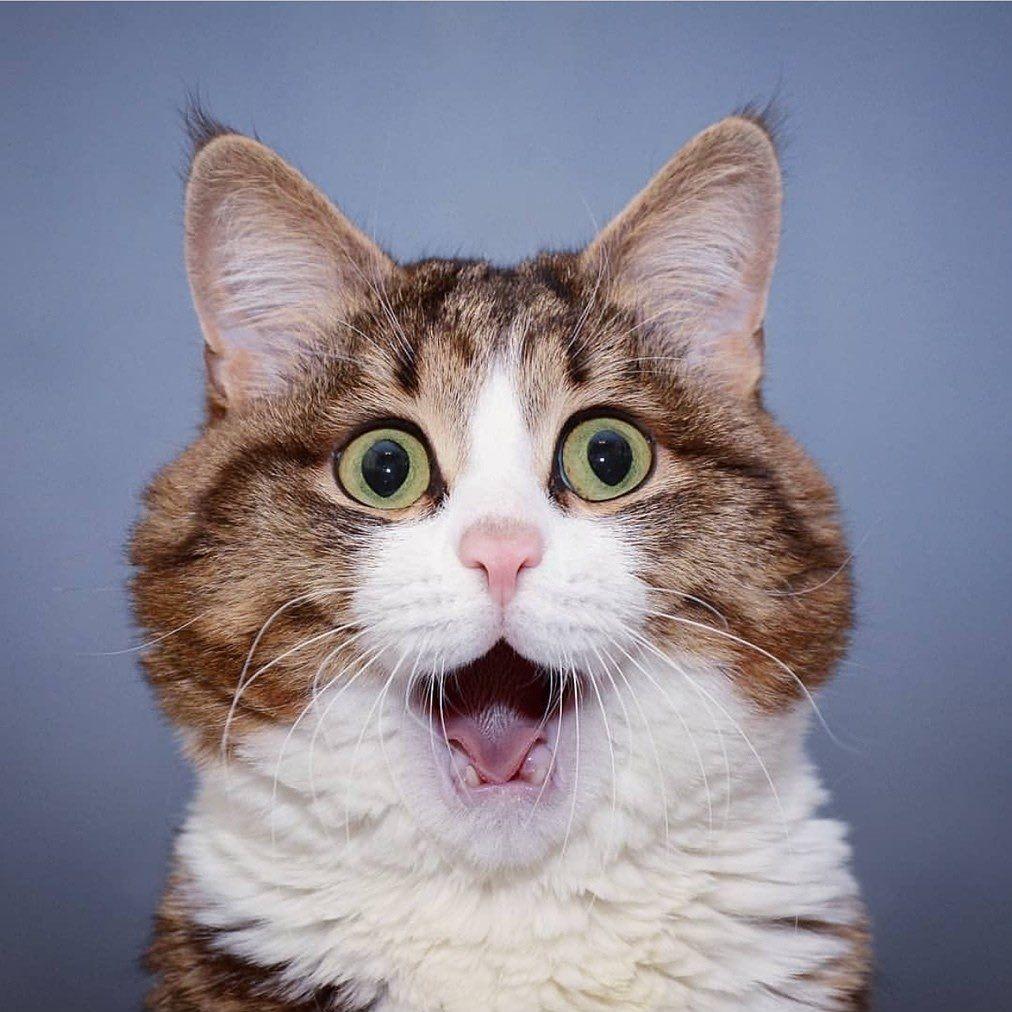 """Cat Lovers Club on Instagram: """"😘😘😘 @rexiecat⠀ ----------------- #topcatsclub #playfulcat #greycatsofinstagram #worldofcats #adventurecats #catfriends #happycats…"""""""