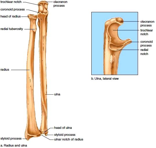 Right radius and ulna | Anatomy | Pinterest | Anatomía