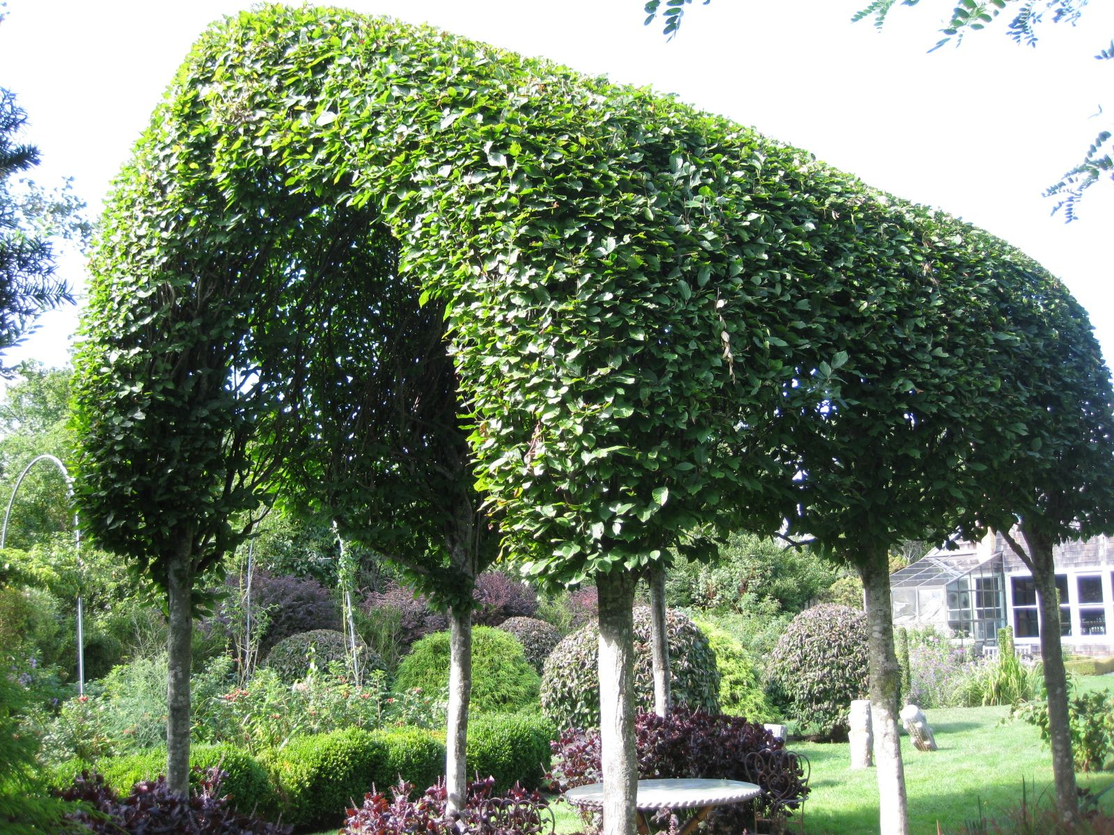Pleached hornbeam trees at madoo reserve garden for Garden deciduous trees