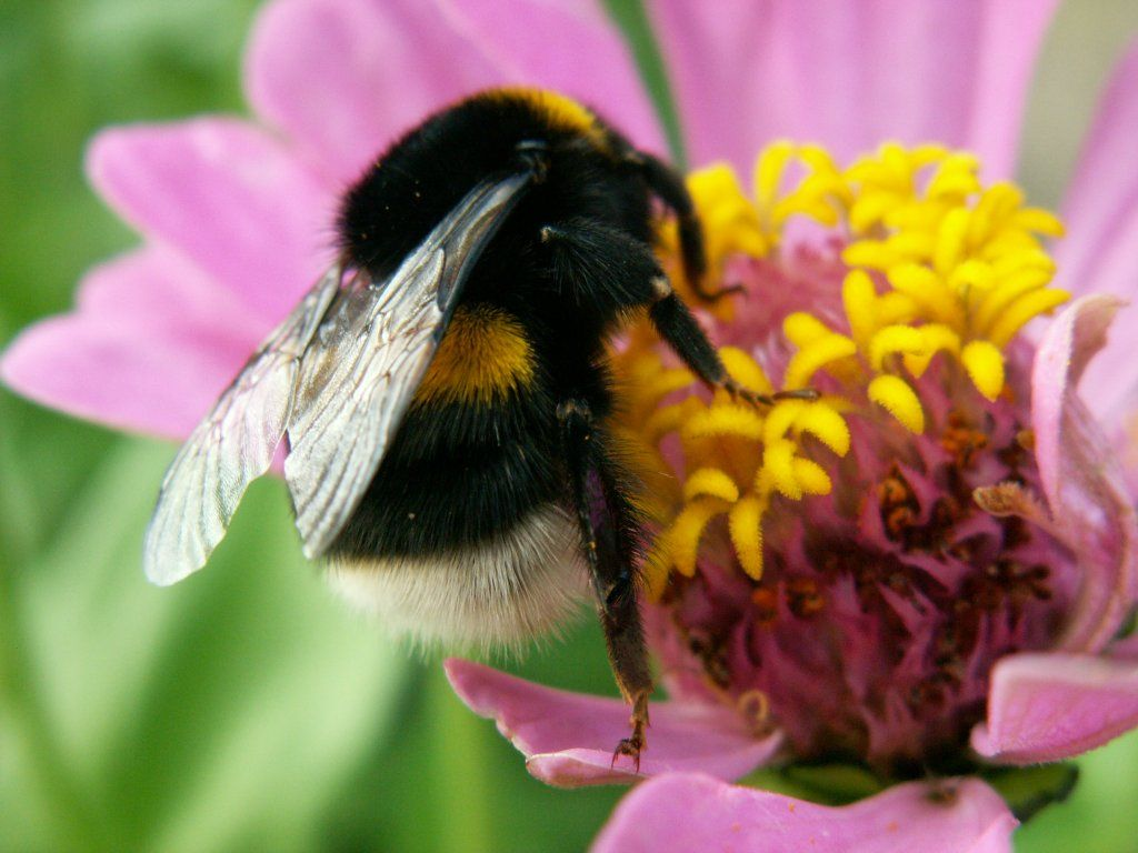 Bumblebees Article Borislavdopudja Net Bee Bumble Bee I Love Bees