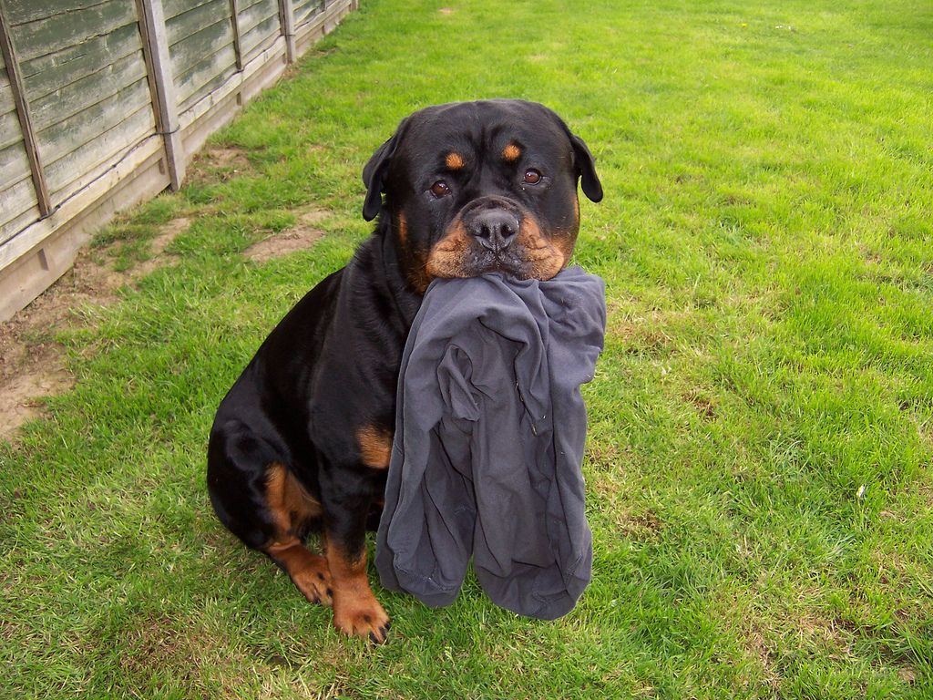 Pin By Lydia Walters On Puppys Rottweiler Love Rottweiler Rottweiler Dog