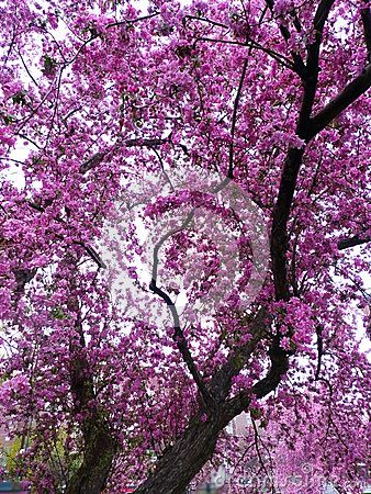 Cherry Blossom Tree Watercolor Cherry Blossom Tree Watercolor Trees Cherry Blossom