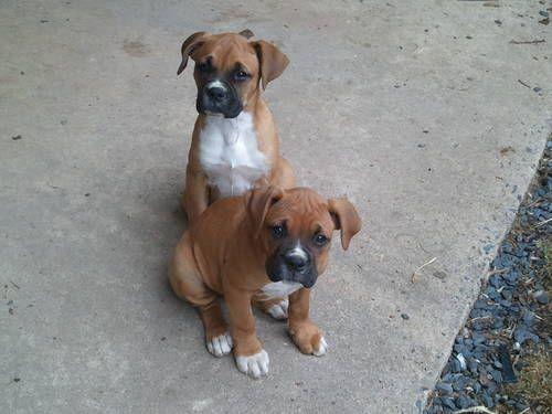 3 3 3 3 Boxer Puppies Cute Animals Pets