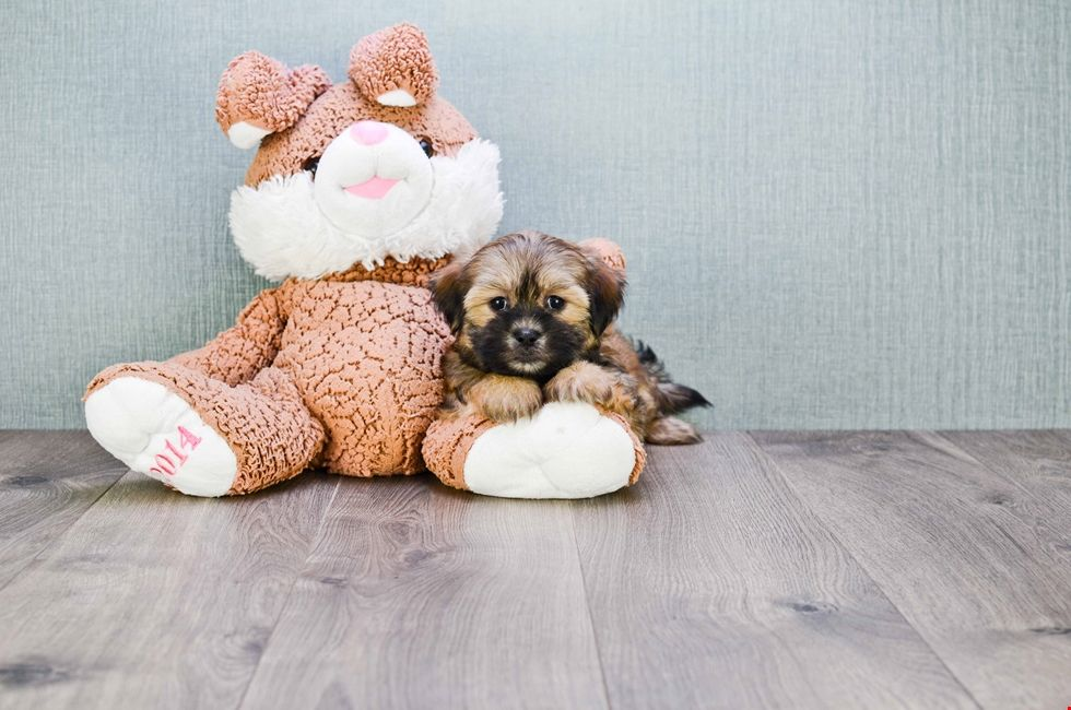 Teddy Bear Puppies Teddy bear puppies, Zuchon puppies