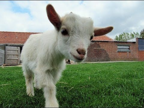 Goats who scream like humans - This is one of the most ridiculously hilarious things I have ever seen. I just died