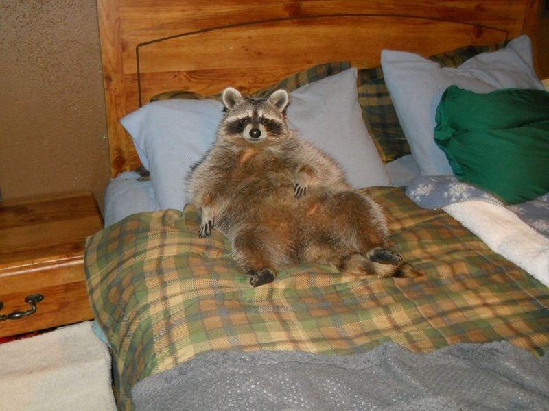 Oh wow | Animals | Fat raccoon, Cute raccoon, Animals