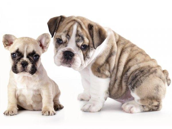 Französische und Englische Bulldogge Was ist der