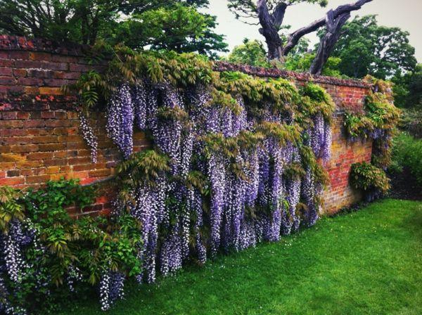 Beau Plante Glycine Cloture Jardin