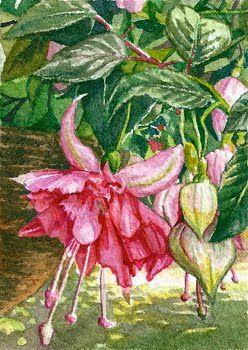 Watercolor Paintings Of Fuchsia Sfa Aceo 2 5x3 5 Fuchsia Watercolor Art Bella Rosa Art Watercolor Art Botanical Art