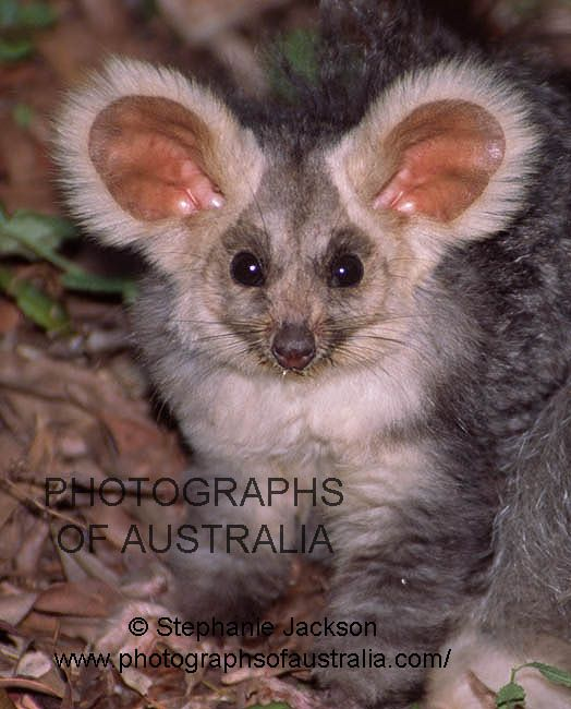 Photo Of Greater Glider Nocturnal Animals Australian Animals Rare Animals