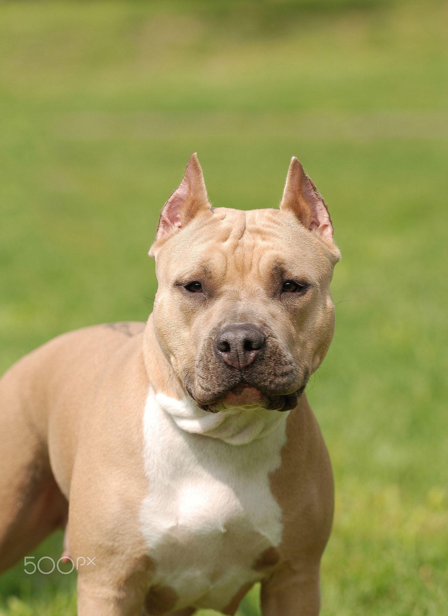 American Staffordshire Terrier Amstaff Dog Portrait American