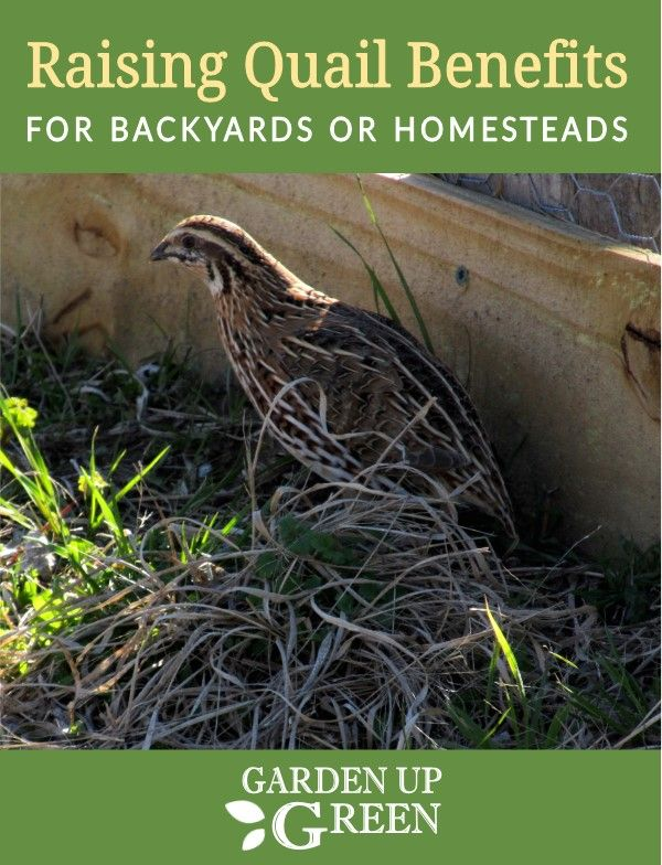 Backyard Quail Benefits (With images) | Vegetable garden ...