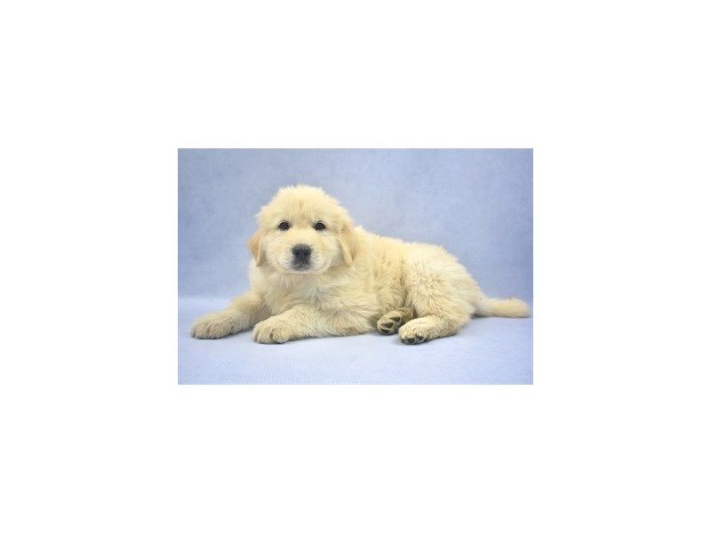 Great Pyrenees Dog White Id 2357752 Located At Petland Frisco Tx