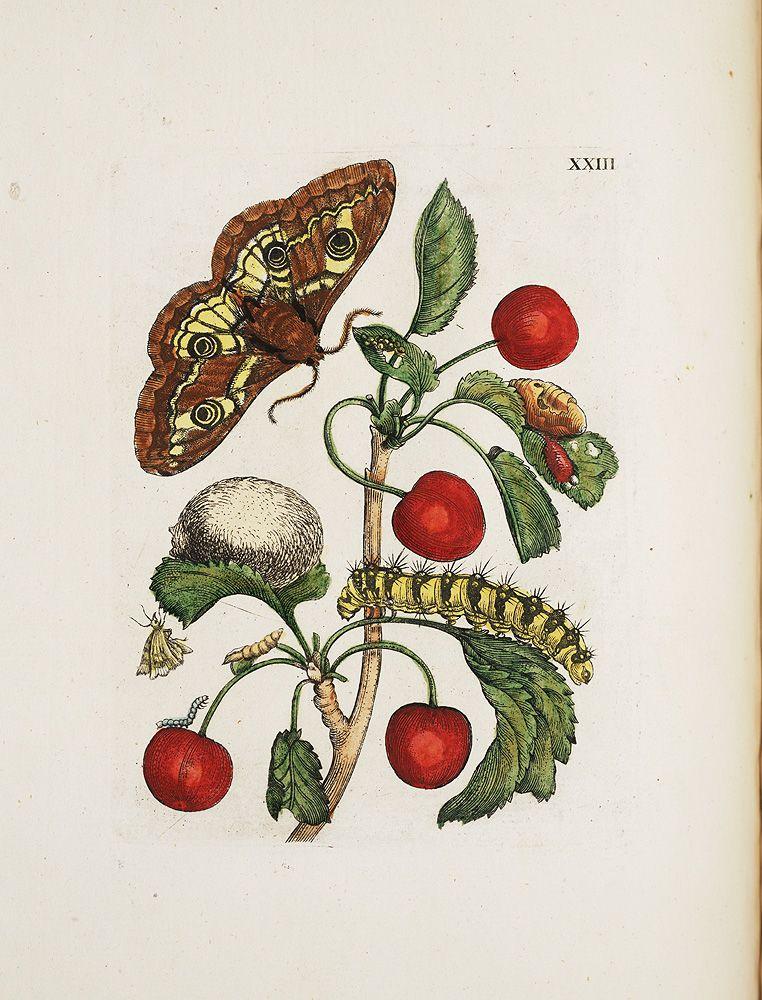 Maria Sibylla Merian, Raupen wunderbare Verwandelung und sonderbare Blumennahrung, 1730