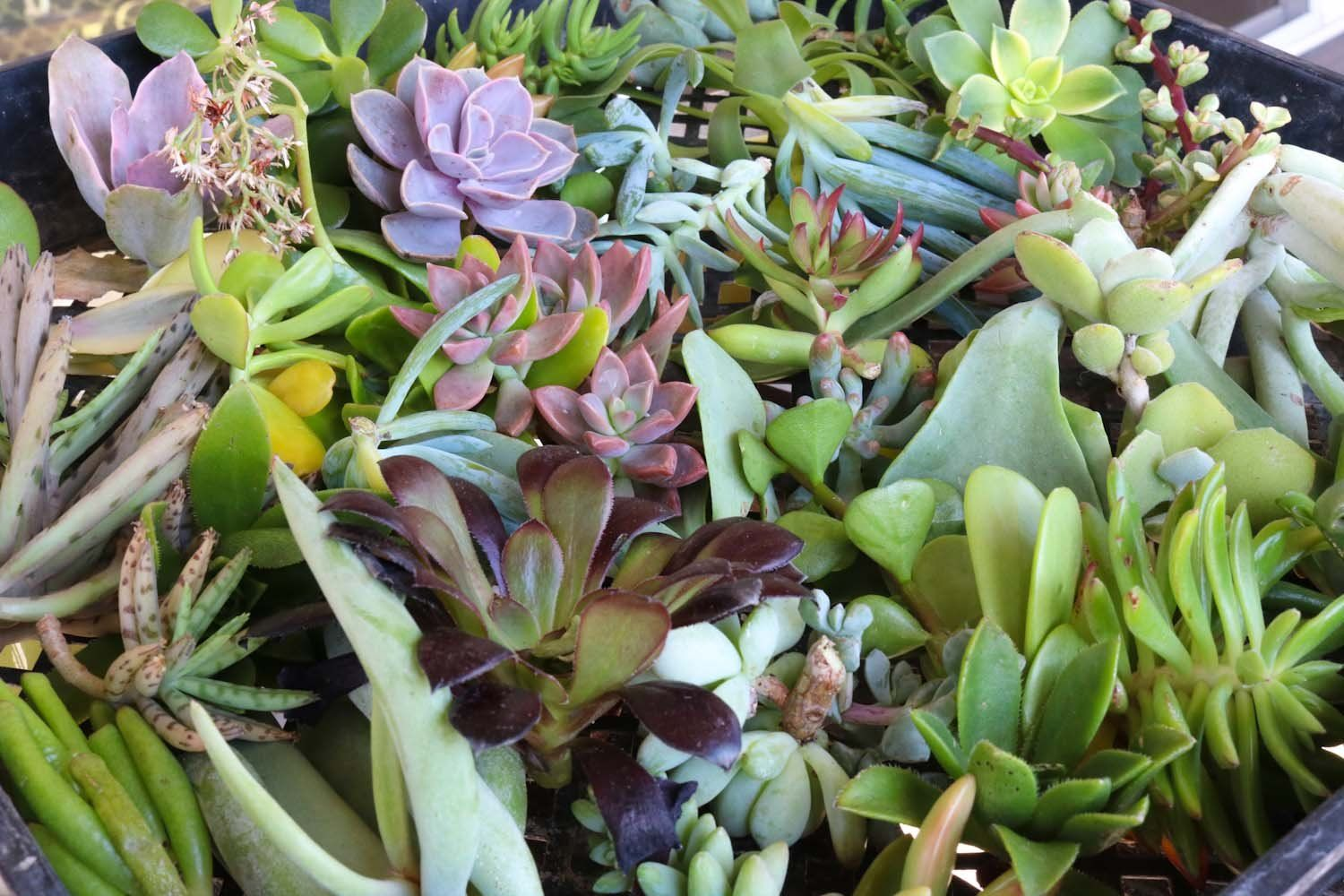 Cuttings Assorted Succulents Succulent landscaping