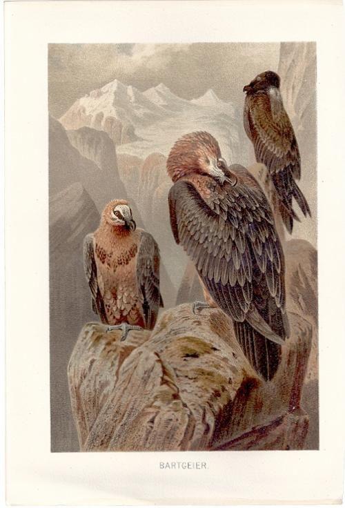 Bartgeier Bearded Vulture - Alfred Brehm