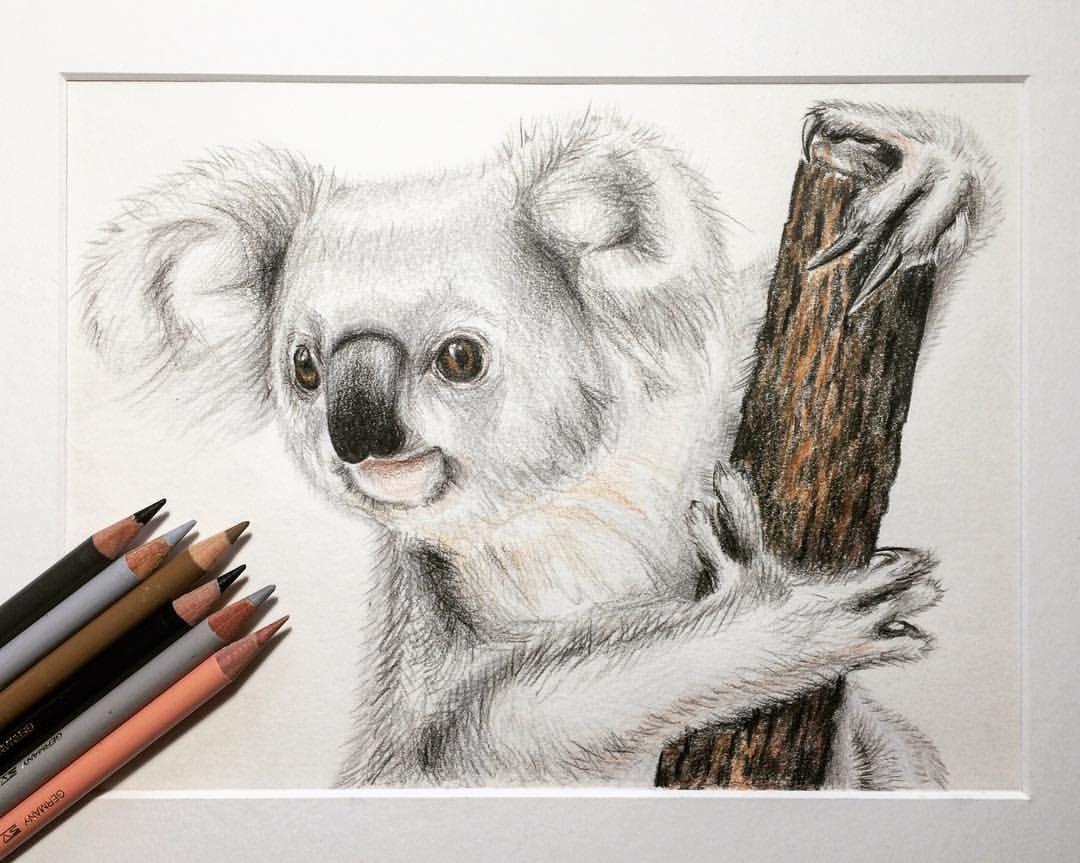 Line Drawing Koala : Koala illustration drawing pencil animal