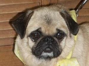 Adopt Grommet On Dachshund Mix Adoption Dogs