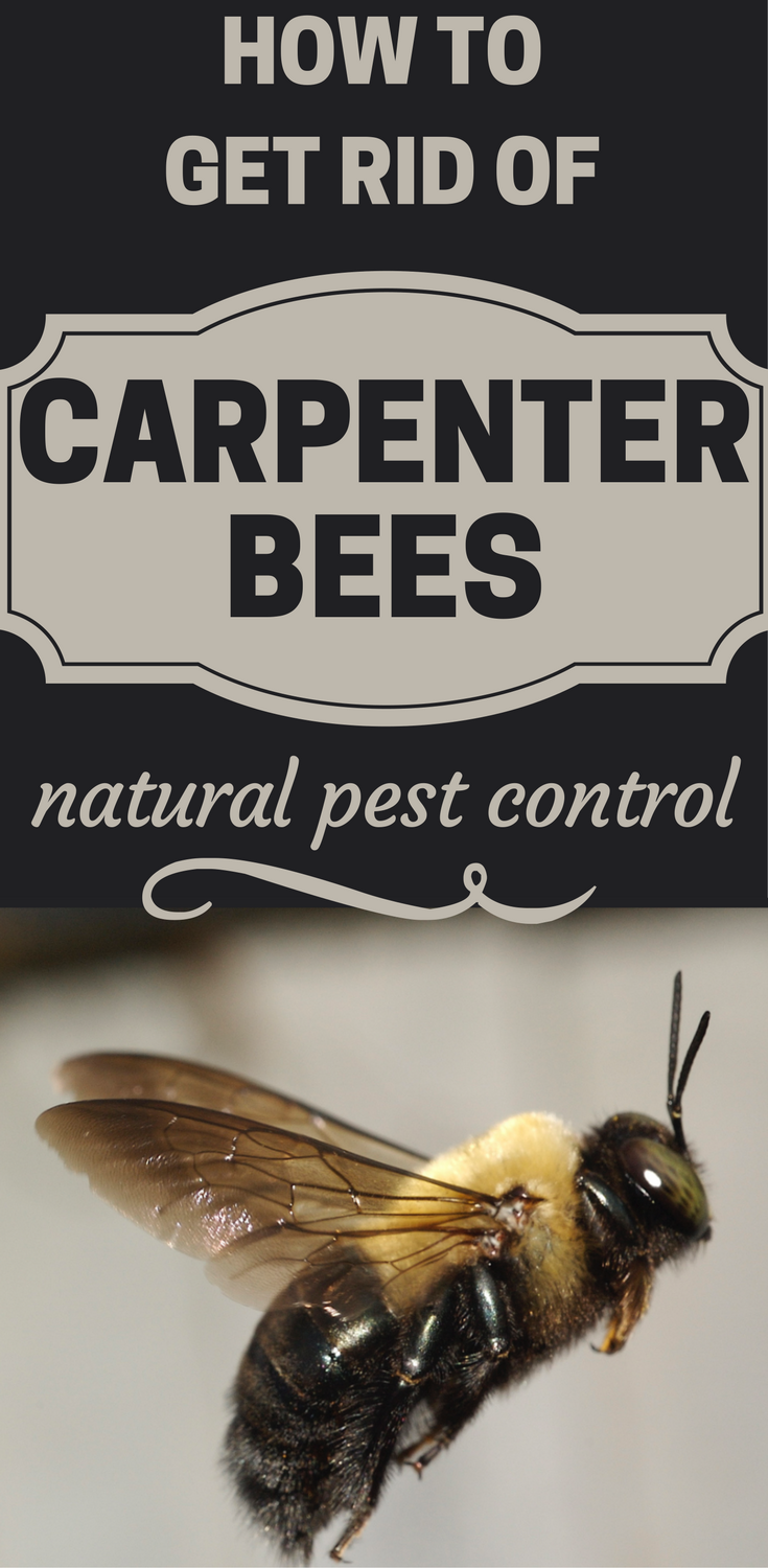 How To Get Rid Of Carpenter Bees Natural Pest Control Hotcleaningtips Com Carpenter Bee Natural Pest Control Bee