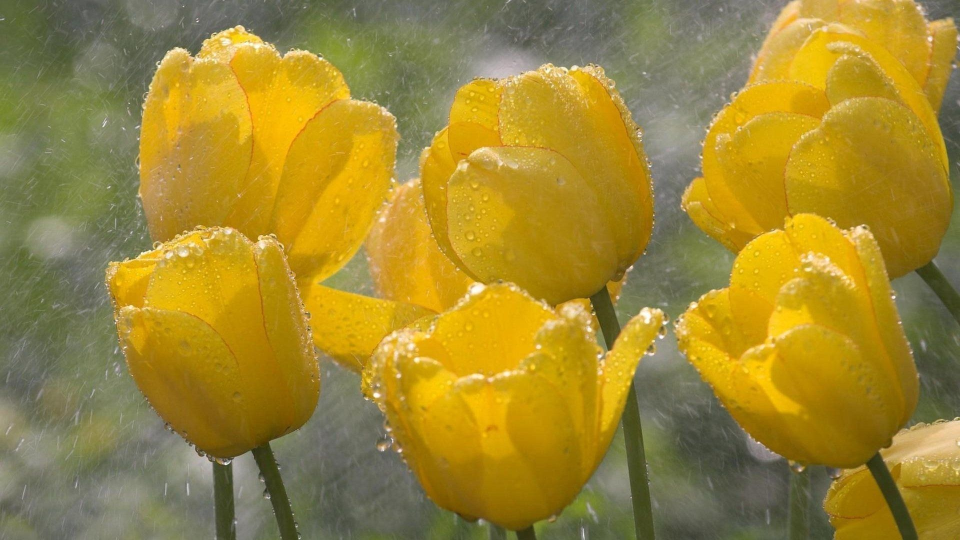 Flowers In The Rain Yellow Flowers In The Rain 5784 Hd And Hq Wallpapers Pink Nature Tulips Yellow Tulips Wallpaper Fantastic yellow flower hd wallpaper