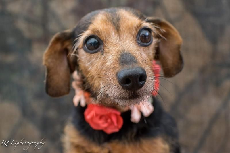 Adopt Piperella On Petfinder Dog Adoption Dachshund Dog Dogs
