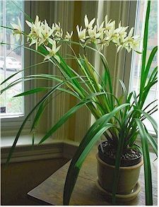 How To Grow Cymbidium Orchids Cymbidium Orchids Orchids Orchid Care