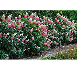 Cottage Farms Vanilla Strawberry Hydrangea — QVC.com ...