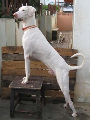 Rajapalayam Indian Sighthound Unique Dog Breeds Dog Breeds
