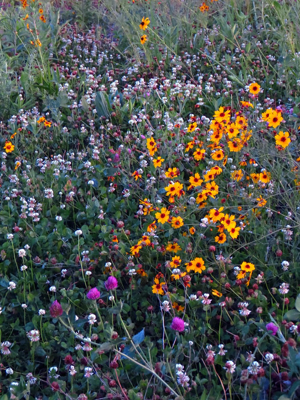 Clovers and wildflowers in 2020 wild flowers cottage