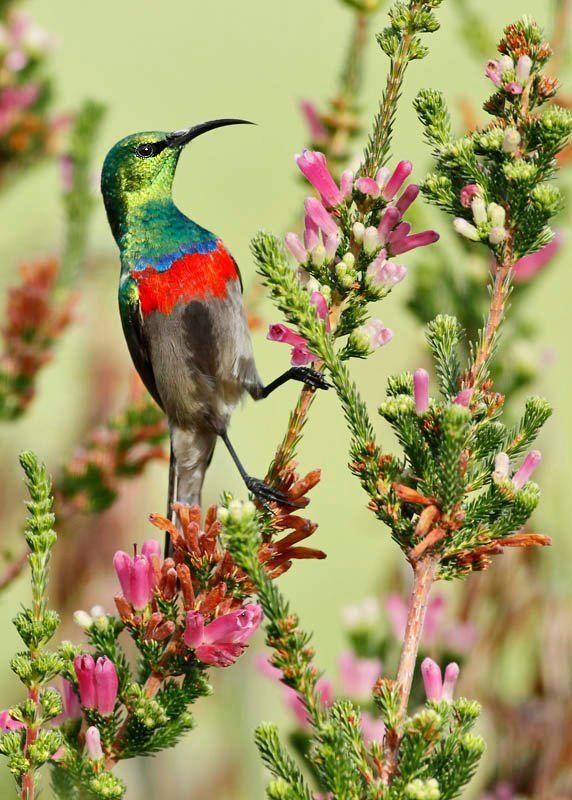 Southern Double-collared Sunbird, Hummingbird. Kirstenbosch, Cape ...