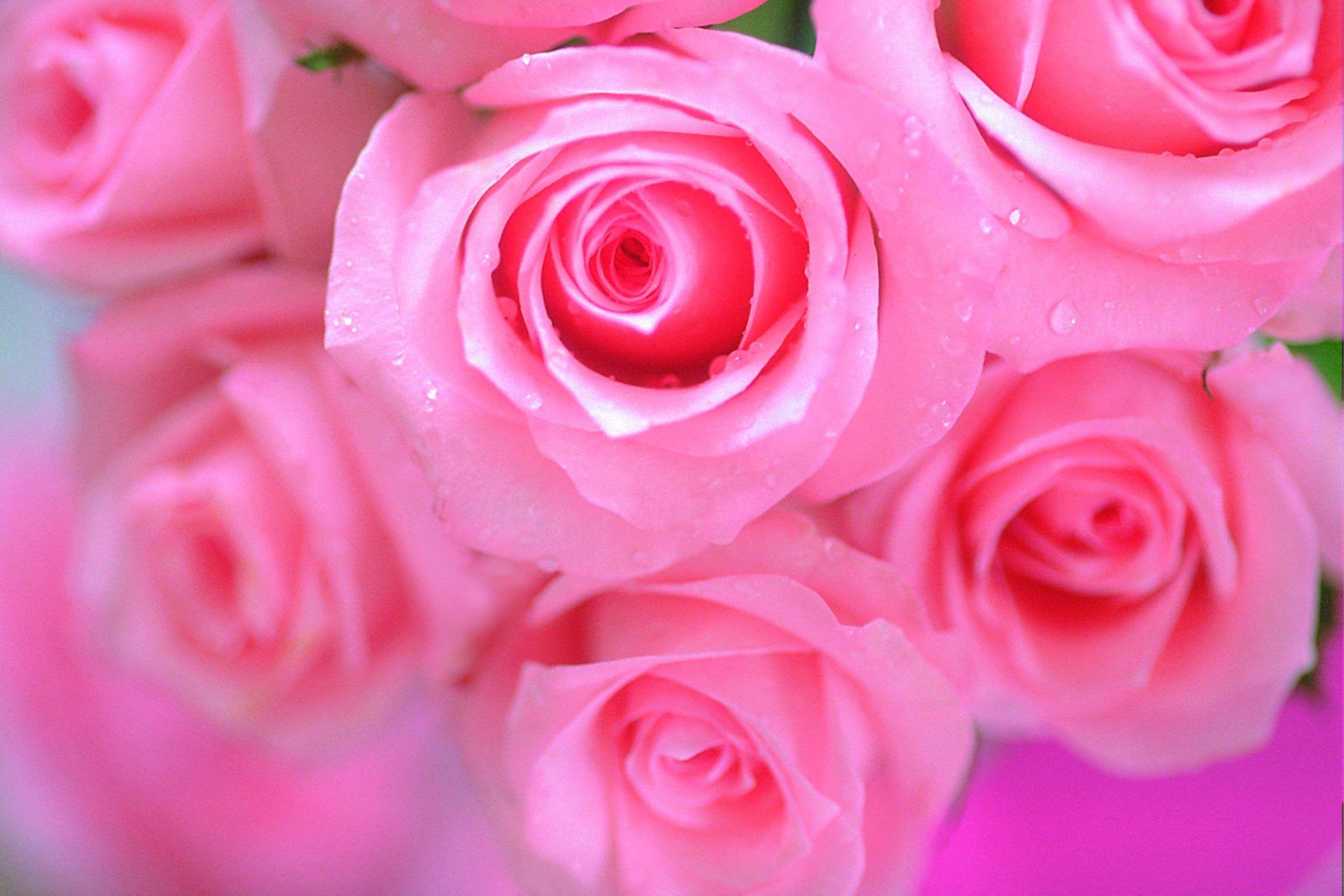 Res 3072x2048 Pink Rose Wallpaper Beautiful Pink Rose Flowers