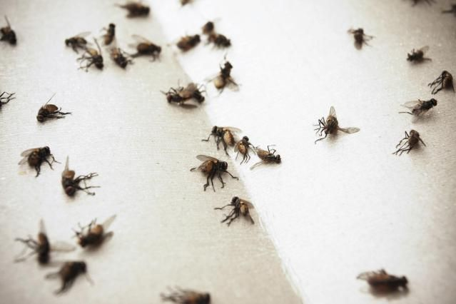 How To Control Flies Indoors Fly Control Get Rid Of Flies House Fly Control