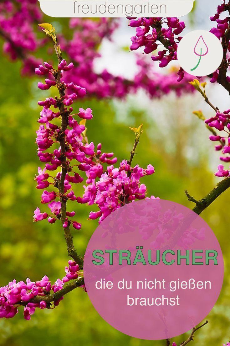 Straucher Die Du Nicht Zu Giessen Brauchst Straucher Garten Pflegeleichter Garten Pflanzen