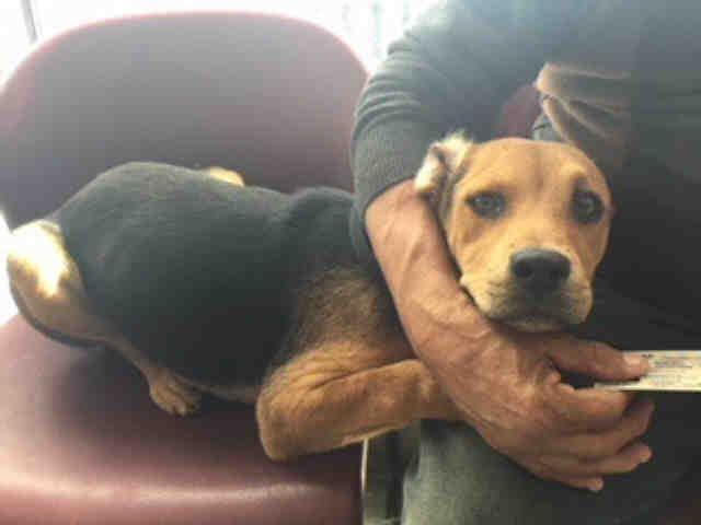 Rottweiler Dog For Adoption In San Antonio Tx Adn 704179 On